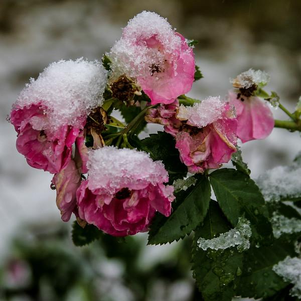 frozen roses0019.jpg