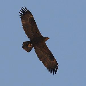 Arokotka (Aquila nipalensis)