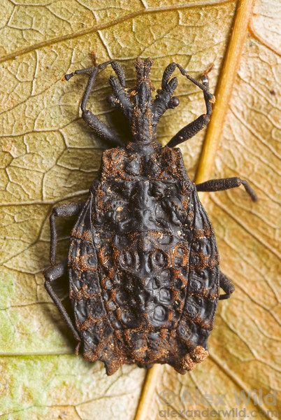 A flightless flat bug, Chelonoderus sp., from the northern Australian rain forests.  Cape Tribulation, Queensland, Australia