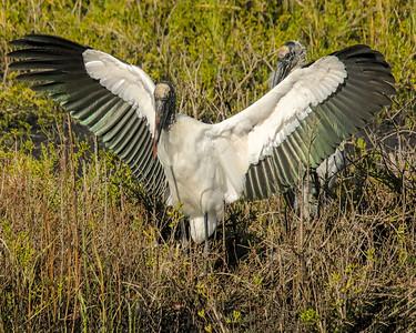 Black Point Wildlife Drive - Merritt Island - Titusville, Fl