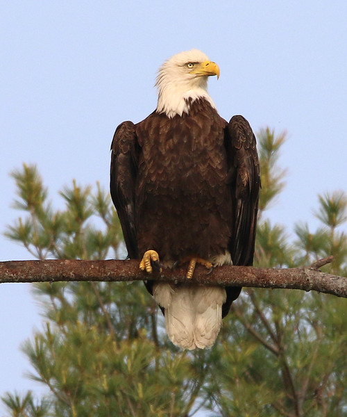 bald eagle york 22.jpg