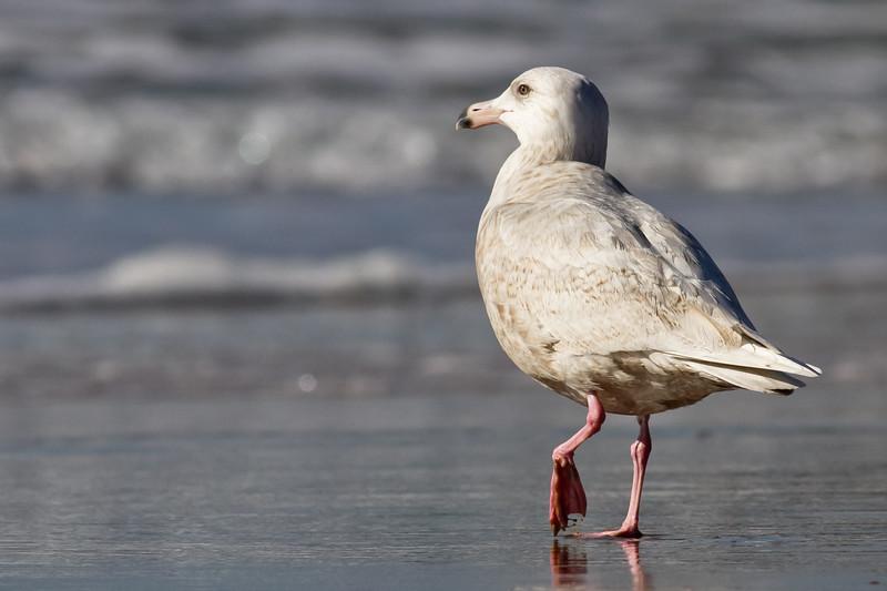 Glaucous-Gull-2011-01-2286.jpg