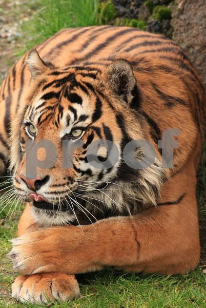 Sumatran tiger 2714.jpg