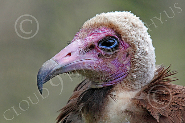 Hooded Vulture Wildlife Photography
