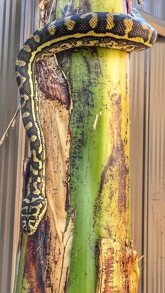 Carpet Snake 10.jpg