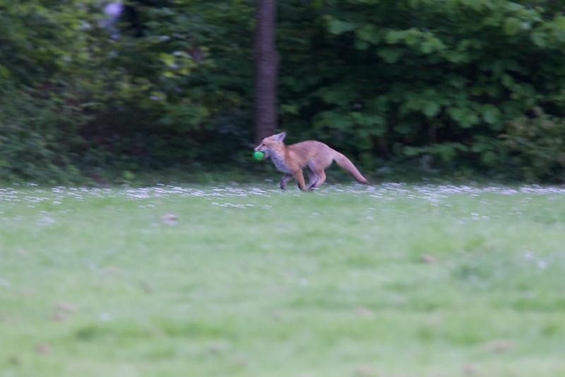 Urban fox cub with tennis ball