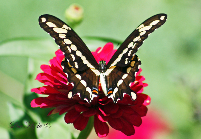IMG_6790 PS SWALLOWTAIL signed.jpg