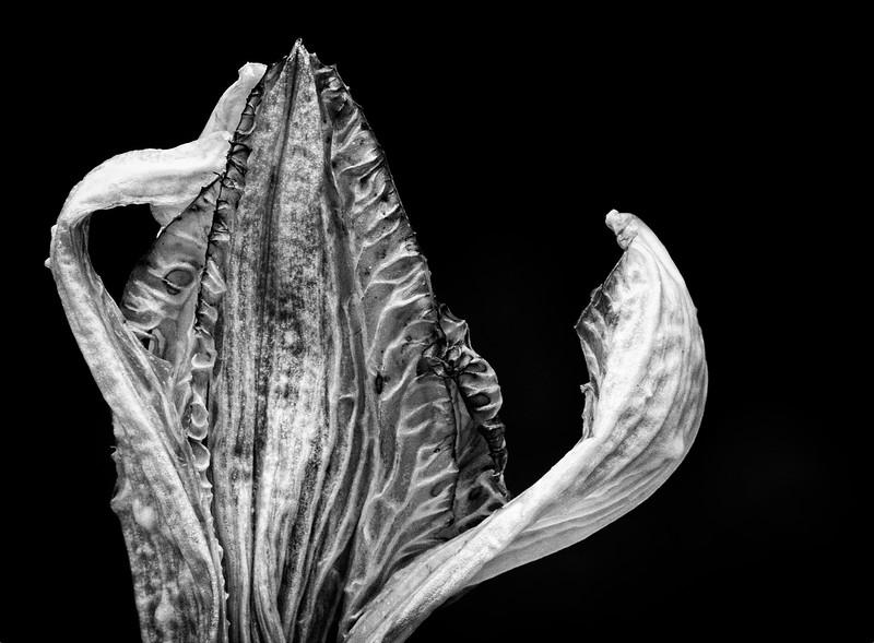 lily-bud-2.jpg
