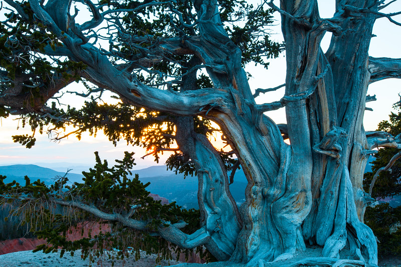 Bristlecone Pine, Cedar Breaks National Monument