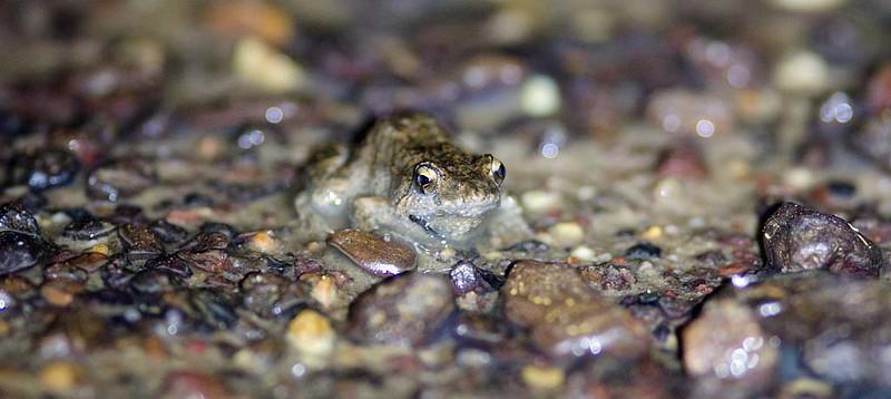 Crinia - froglets