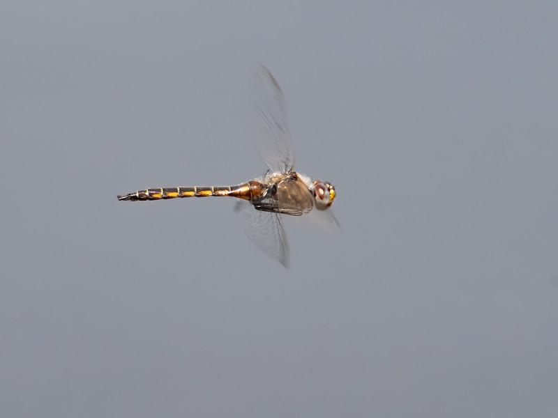 Common Baskettail (Epitheca cynosura), male