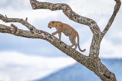 Cats of the Serengeti