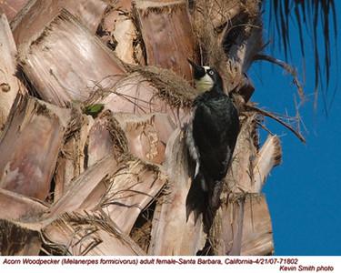 AcornWoodpeckerF71802.jpg