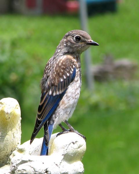 bluebird_fledgling_0542.jpg