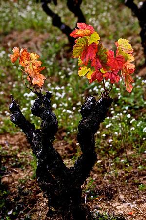 Des Vignes en Automne