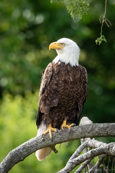 Bald eagle - Seabeck, Washington.