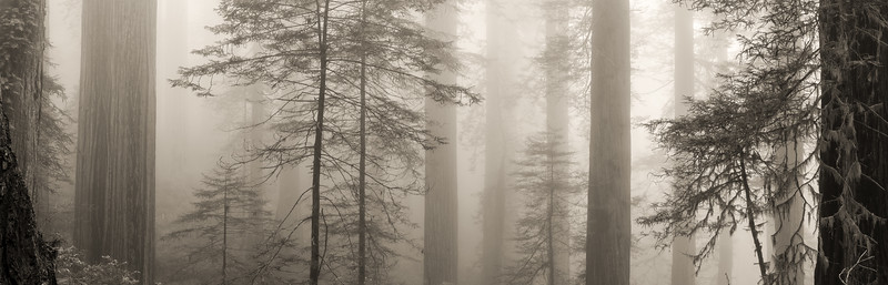 Fog and Redwoods along Damnation Creek Trail