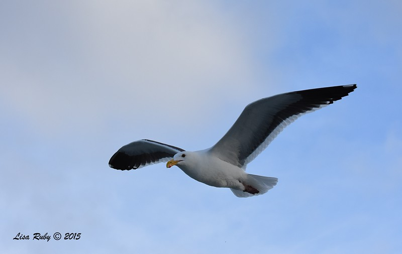 Western Gull  - 4/25/2015 - Pelagic from Point Loma