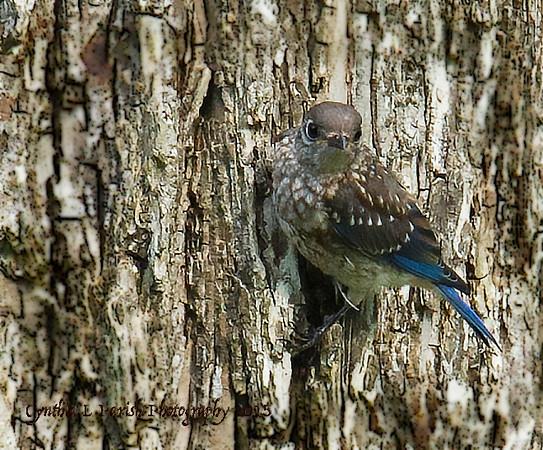 BluebirdJuve_L8E7630.jpg