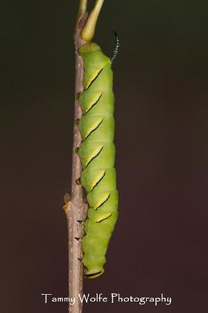 Moth, Laurel Sphinx