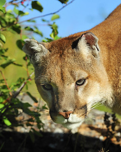 Larry the Lion Atillie, a 3 1/2 year old Mountain Lion