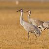 Sandhill crane group