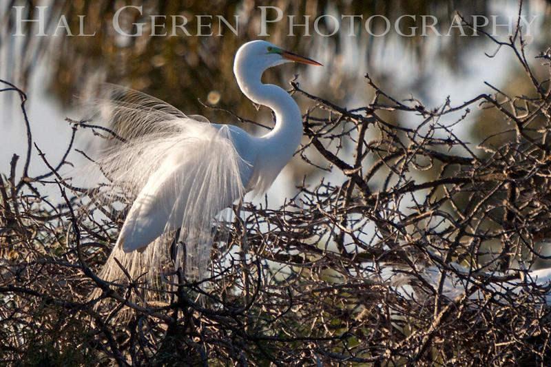 Great Egret Courting Display Newark, California 1304N-GE2