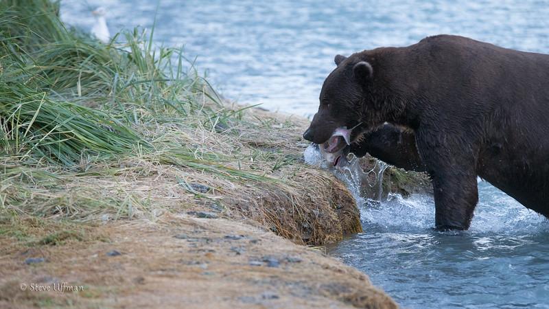 20140901-_G7Q0515Katmai-Bears-geographic-harbor-Edit.jpg