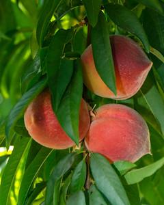 Strawberry Free Peach - Prunus persica sp.