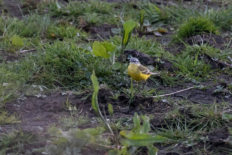 gele kwikstaart, yellow wagtail