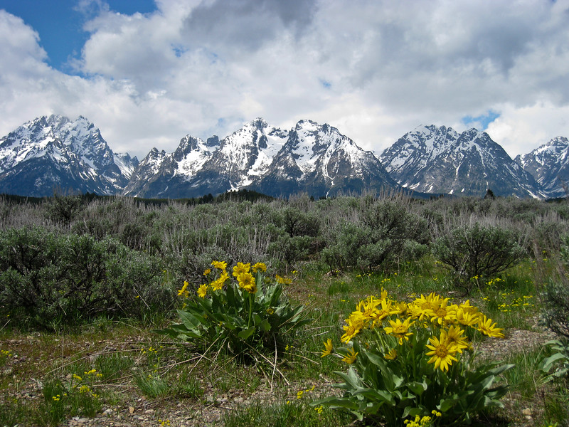 Spring wildflowers and mountains of Grand Teton National Park