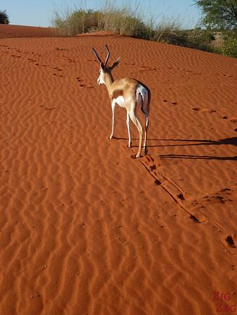 Springbok tour guide in Kalahari desert, Namibia