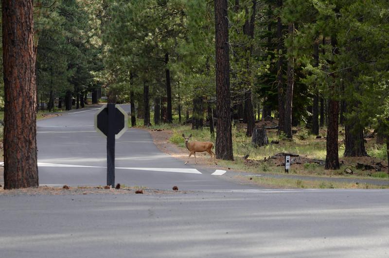 deer-in-crosswalk_KTK6072.jpg