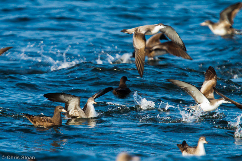 Flesh-footed Shearwater with Pink-footed Shearwater at pelagic out of Bodega Bay, CA (10-15-2011) - 526-2.jpg