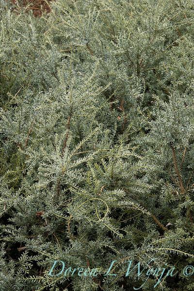 Podocarpus lawrencei 'Blue Treasure'_0550.jpg
