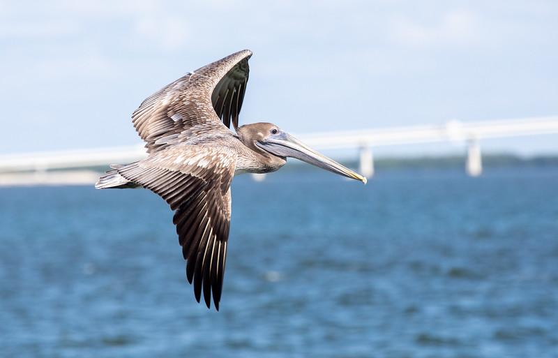 Brown-Pelican-2.jpg