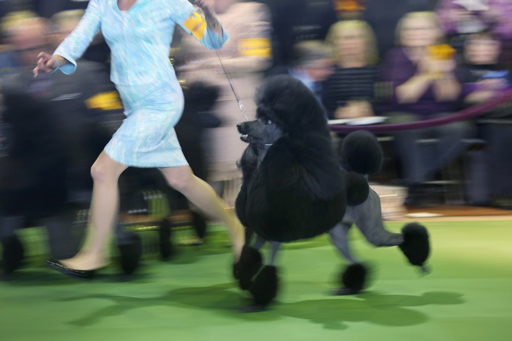 . A standard poodle competes in the 137th Westminster Kennel Club Dog Show on February 11, 2013 in New York City. A total of 2,721 dogs from 187 breeds and varieties are to compete in the event, hailed by organizers as the second oldest sporting competition in America, after the Kentucky Derby. The Best in Show dog is to be selected at Madison Square Garden Tuesday night.  (Photo by John Moore/Getty Images)