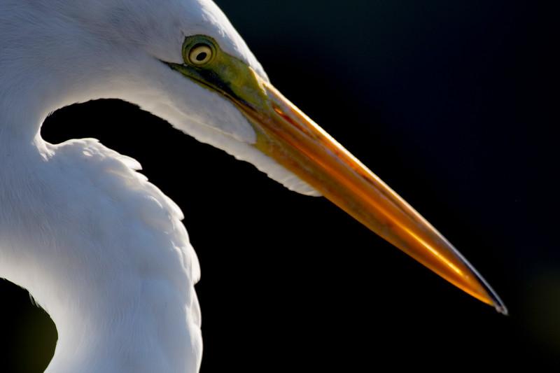Egret Profile 16x24.jpg