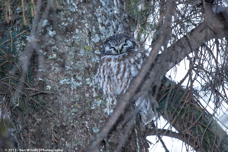 Boreal Owl in Two Harbors