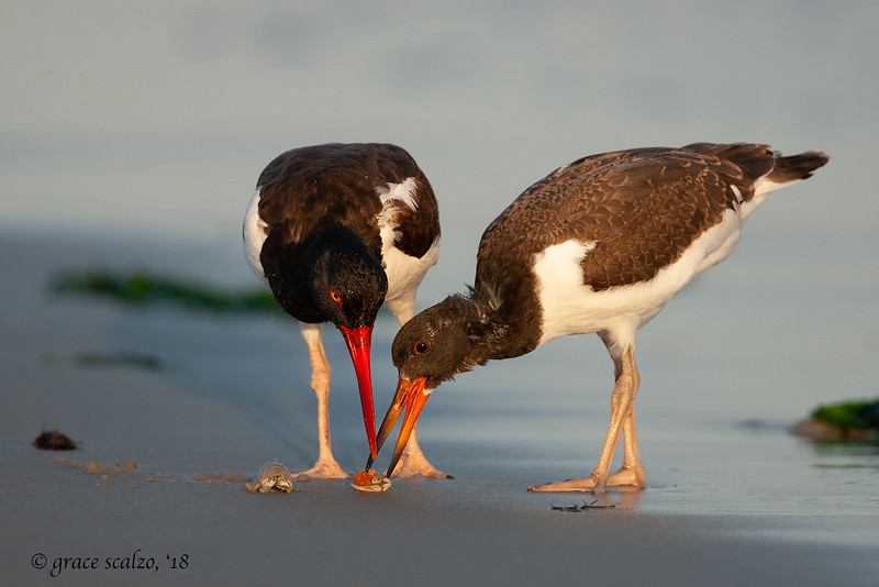 American Oystercatcher Adult and juvenile