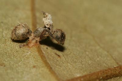 Zombie Ant
