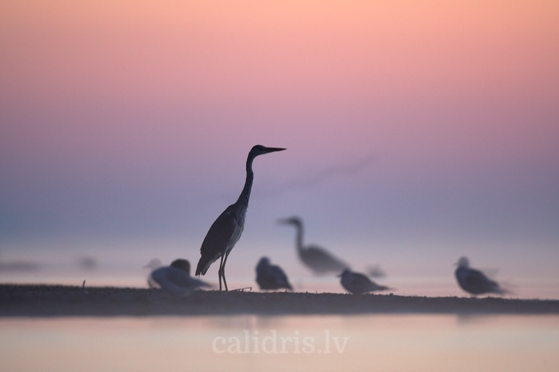 Grey Heron stands on beach on misty sunrise
