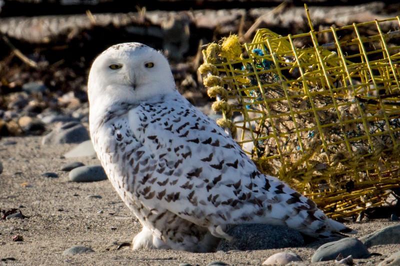 Deer Island Snowy Owl