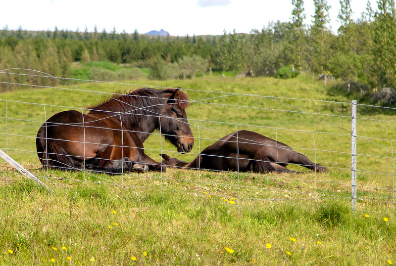 Two Icelandic horses.  First time I've seen horses that lie down.