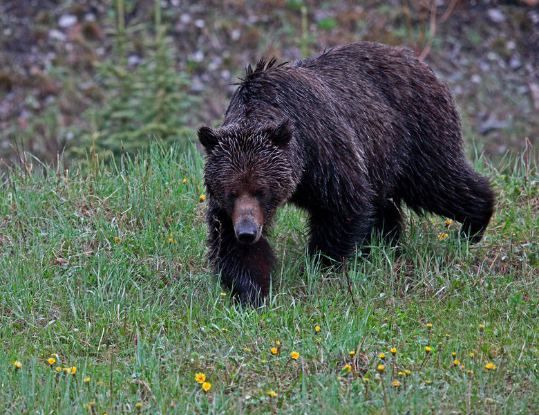 Young Grizzly, near Highwood Pass