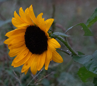 Sunflowers_Sept. 14, 2018