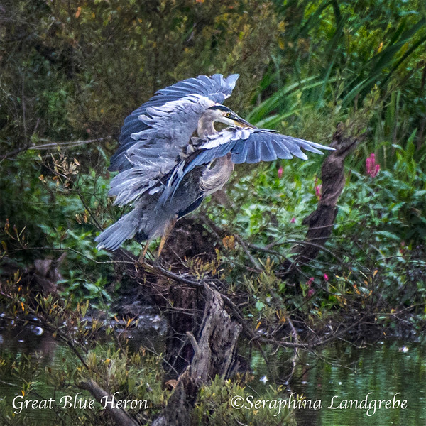_DSC9491Great Blue Heron.jpg