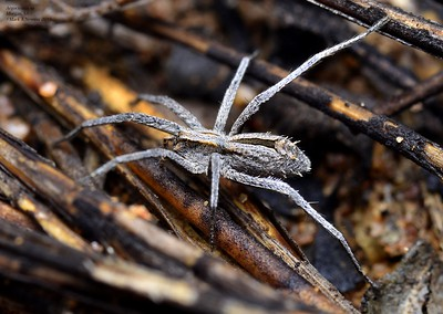 Argoctenus spp