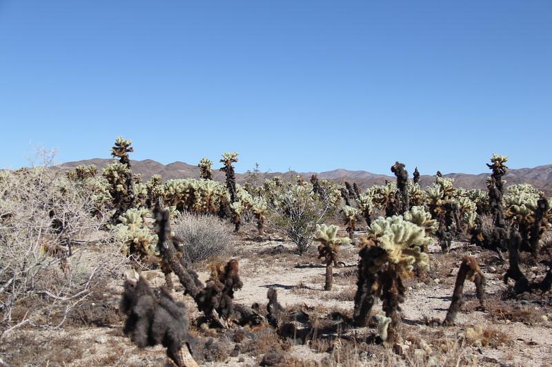 20190524-27-SoCalRCTour-Cholla Cactus Garden Trail-Joshua Tree NP.JPG