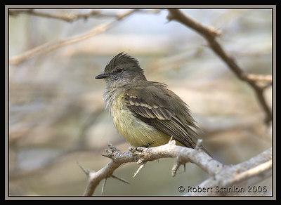 Nothern Scrub-Flycatcher, Salvin-vliegenpikker, Sublegatus arenarum, Smooth Flycatcher